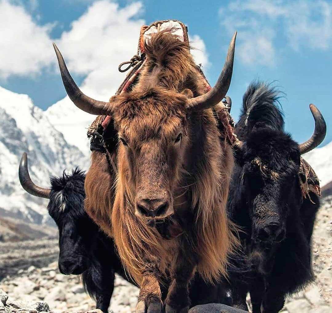 Gesang comenzó a trabajar en Qomolangma porteando suministros con sus propios yaks. (Ph: Instagram @nonextquestions)